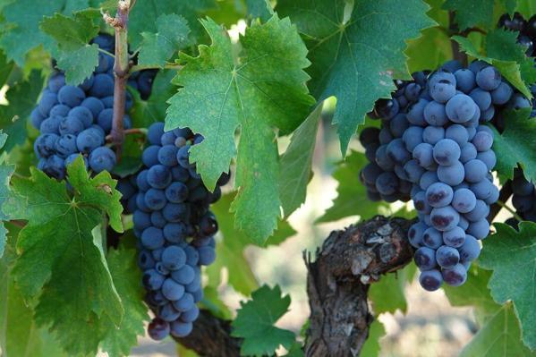 grappoli-uva-nerello-mascalese