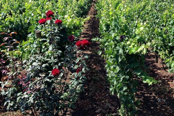 rose-vigneto-nerello-mascalese